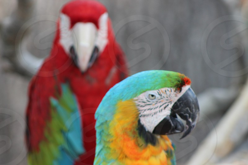 Scarlet & Blue and Gold Macaws photo