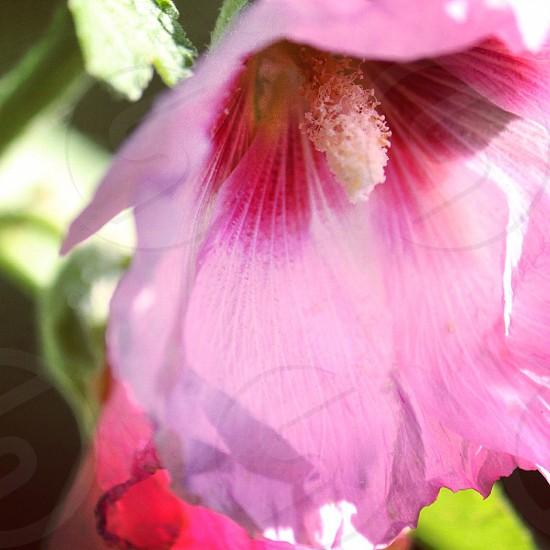 Hollyhock flower photo