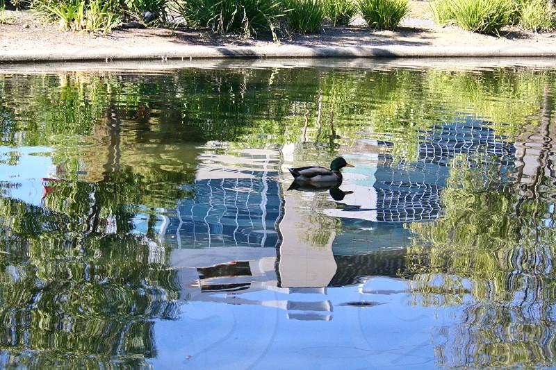 Mallard duck swimming among reflections of high rise buildings photo
