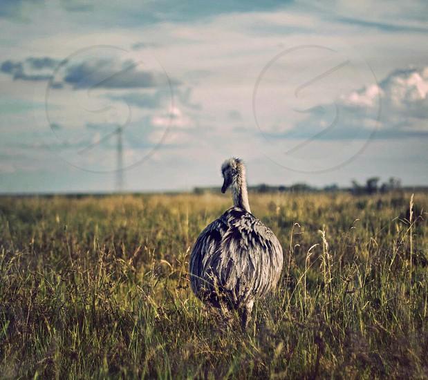 gray ostrich on green grass field photo