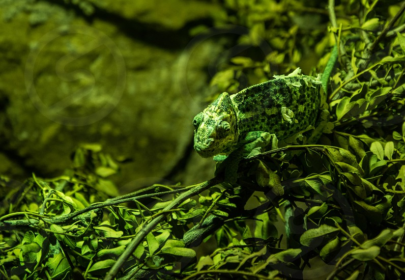 Chameleon fully adapted to his green scenery photo