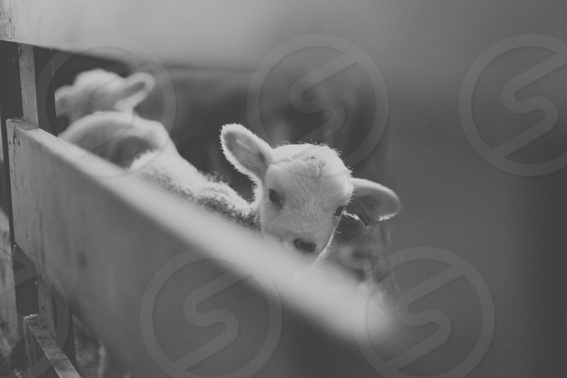 Peekaboo. Lamb in grayscale. photo