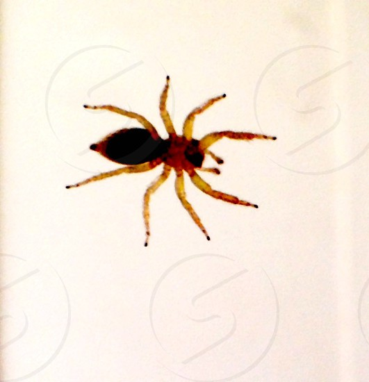 yellow and black parson spider photo