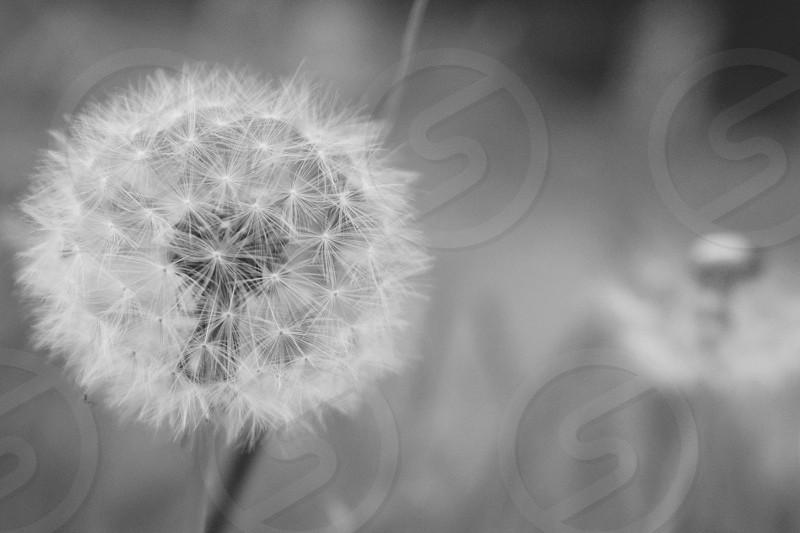 Dandelion in monochrome in a field photo