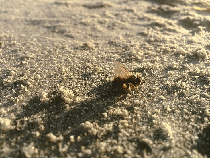 Bee on the beach getting some sun - La Jolla Beach CA.  photo