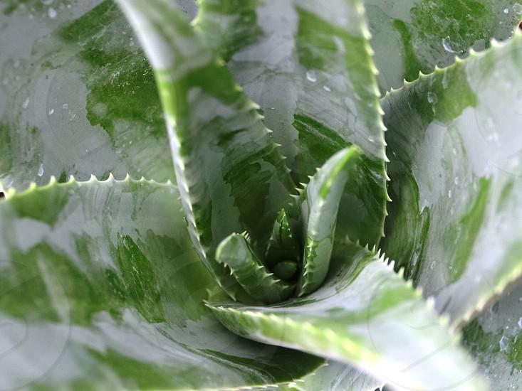 Aloe vera plant green photo