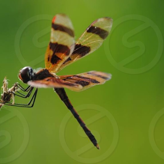black and brown dragonfly photo