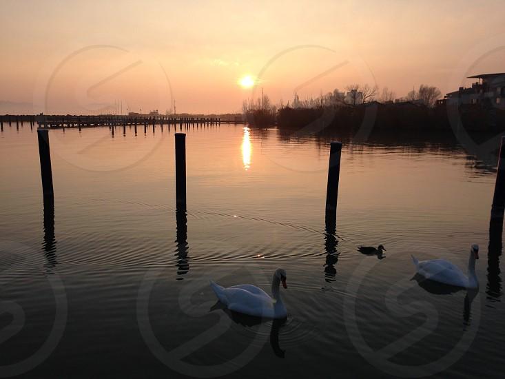 Lake water swans sunset photo