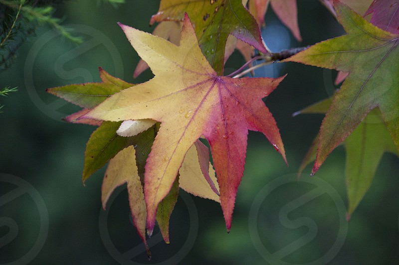 Tha changing of the season and the colours of autumn captured in a single leaf. photo