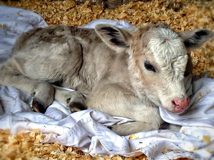 A mocha colored calf a few days after birth photo
