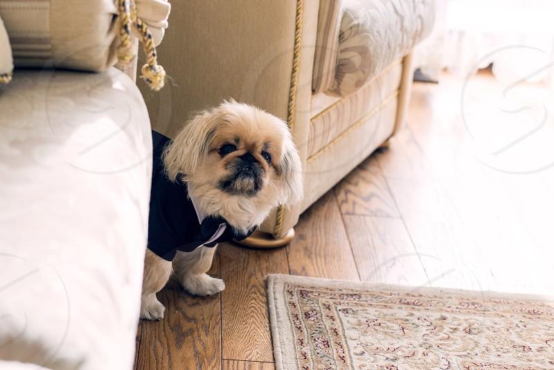little Pekingese dressed in coat indoor interior photo