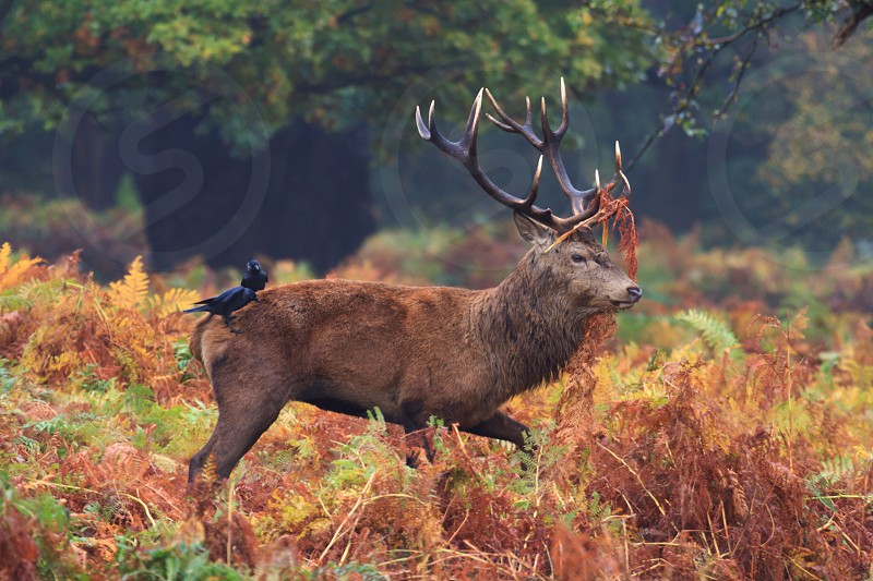 A red deer with fern on its antler in autumn/fall with two black birds (western jackdaws) on its back. photo