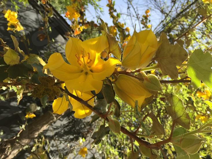 Fremontadenderon flower blossom in garden photo