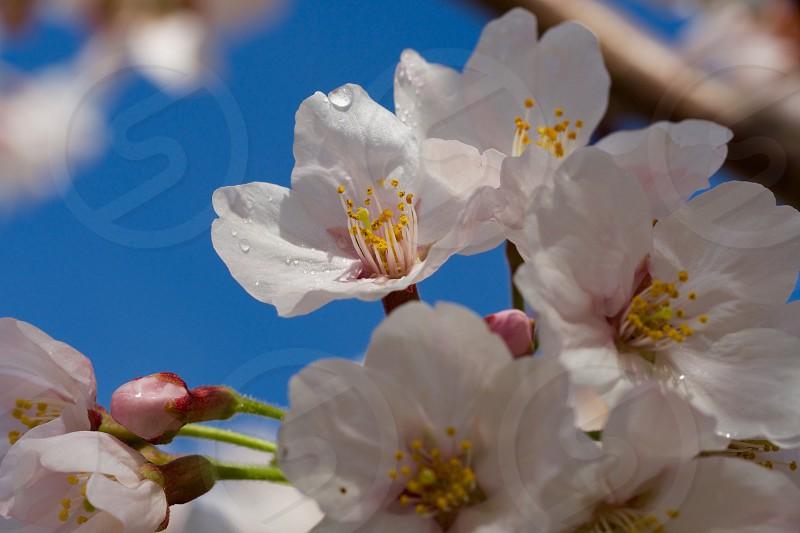 sakura flower bloom cherry spring japan photo