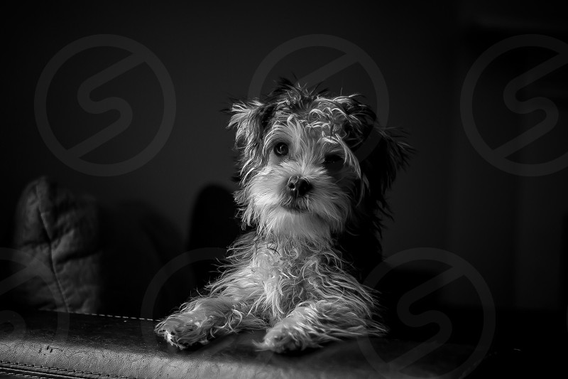 puppy dog canine morkie Yorkshire Terrier Maltese mix breed fur cute adorable tiny toy breed black and white monochrome monochromatic  photo