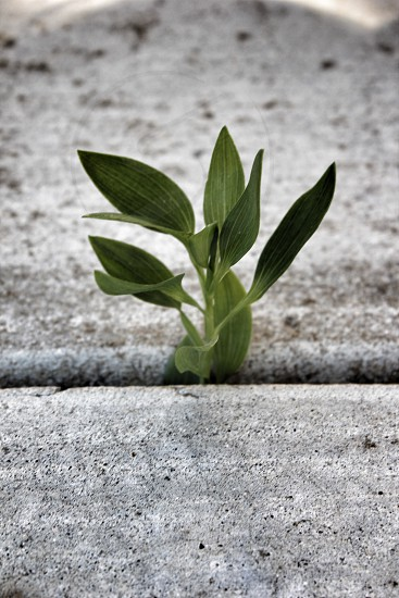 Plant pushing through the cement photo