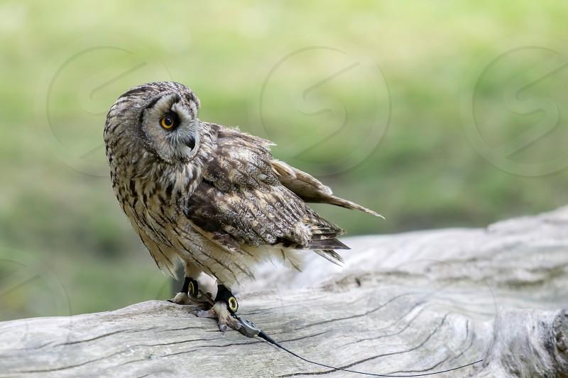 Short Eared Owl (Asio flammeus) photo