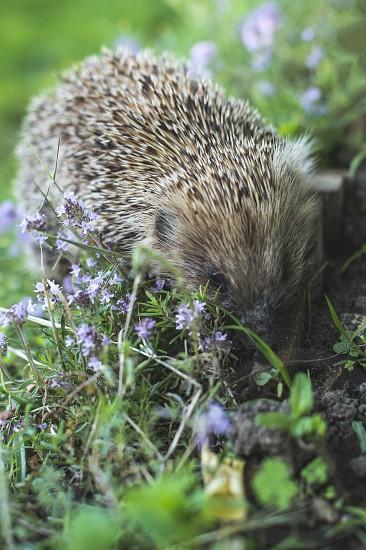 Hedgehog on a mountain meadow. Flowers photo