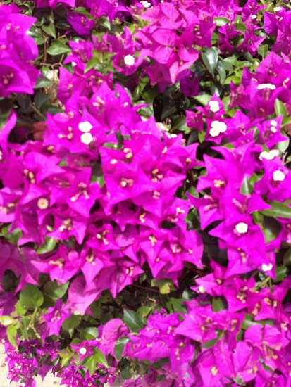 Flowers purple photo