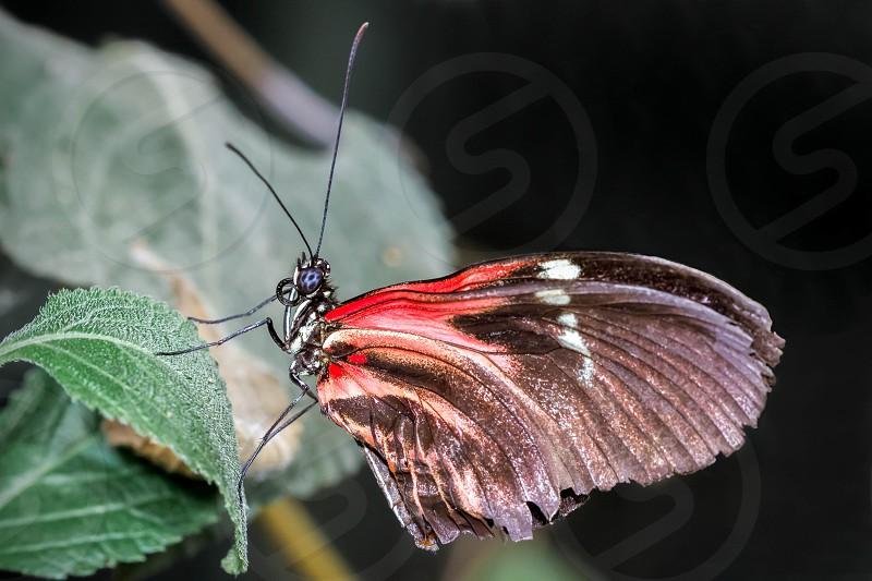 Postman Butterfly (Heliconius melpomene photo
