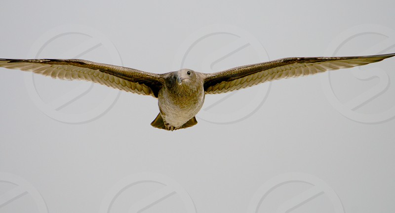 Lone seagull  photo