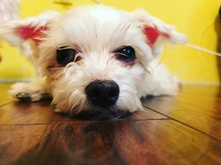 Maltese dog canine pet animal love family purebred photo