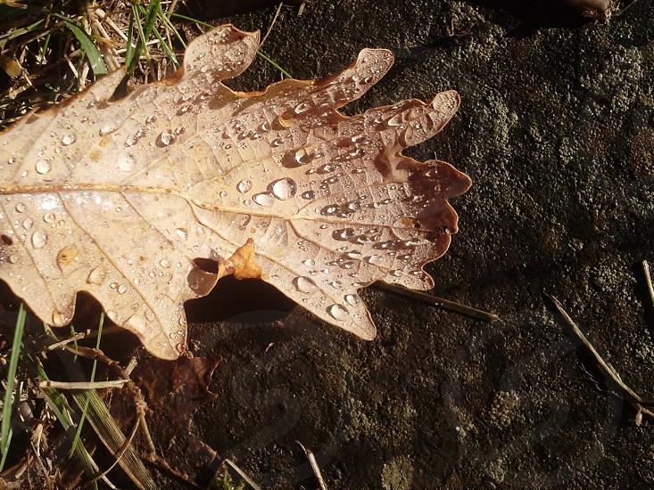 brown dried leaf photo