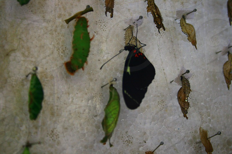 Unity in Diversity- Caterpillars Chrysalis and Butterfly. A metamorphosis.    photo