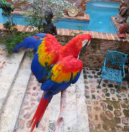 Red yellow & blue parrot with wings spread photo