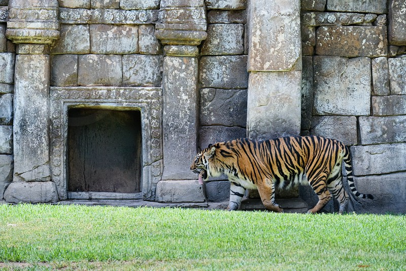 FUENGIROLA ANDALUCIA/SPAIN - JULY 4 : Sumatran Tiger at the Bioparc in Fuengirola Costa del Sol Spain on July 4 2017 photo