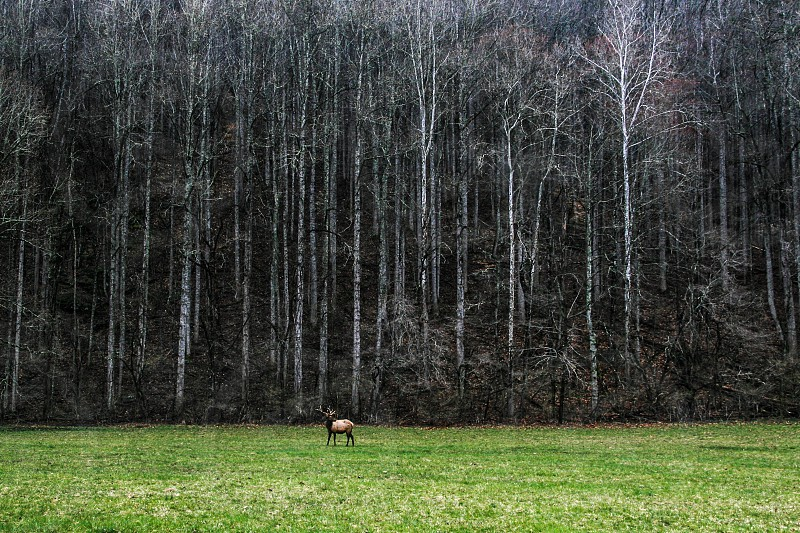 Elk @Great Smoky Mountain photo