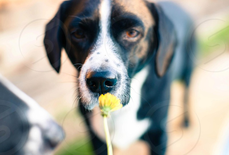 brown white black short-haired dog smelling a dandelion photo