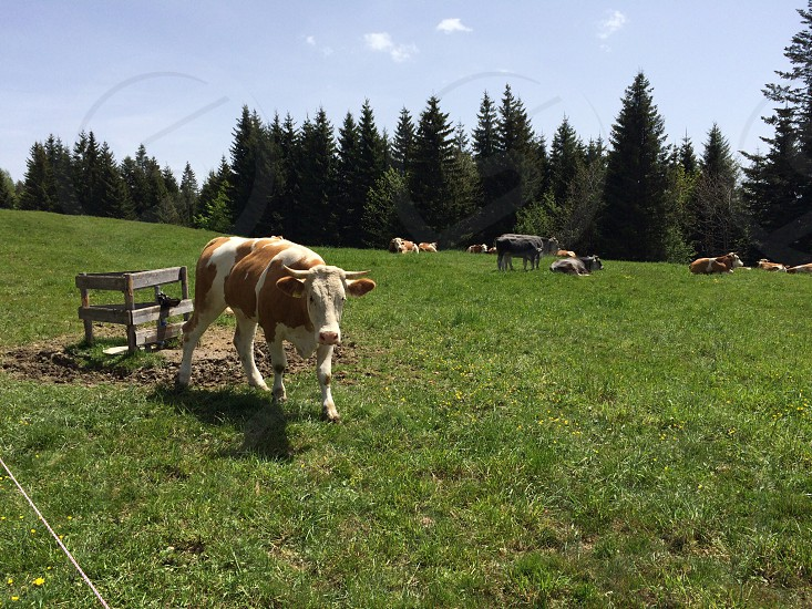 German cow in the alps photo