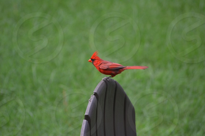 red feathered bird on top of a chair photo