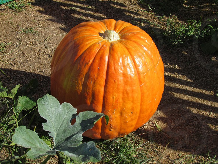 Large pumpkin by the pumpkin patch.  photo