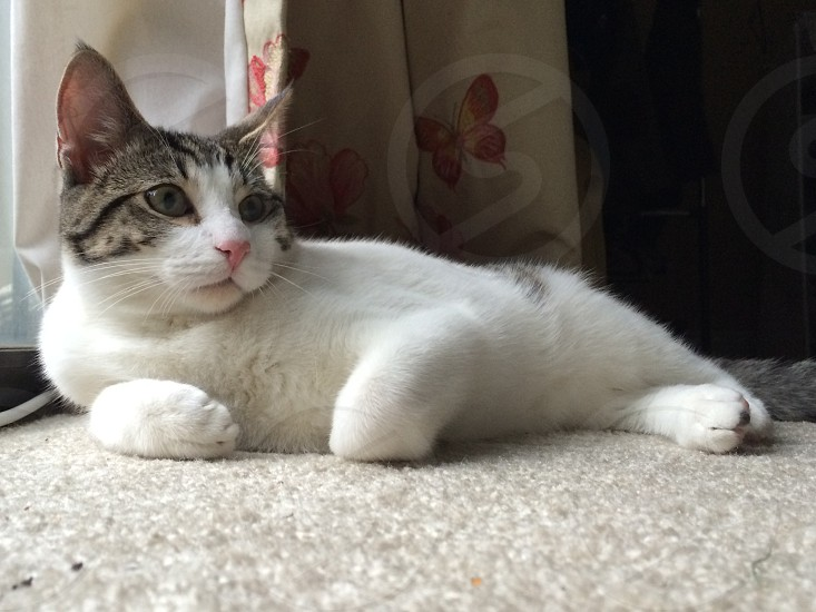 grey and white cat photo