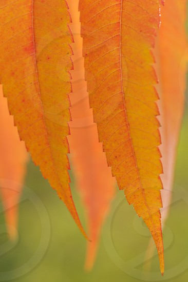 Orange leaves. Abstract. photo