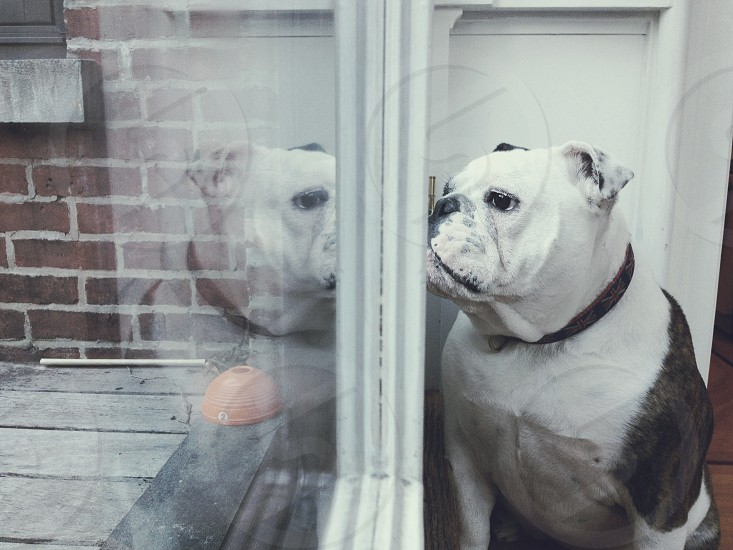 white and brown bulldog near window photo