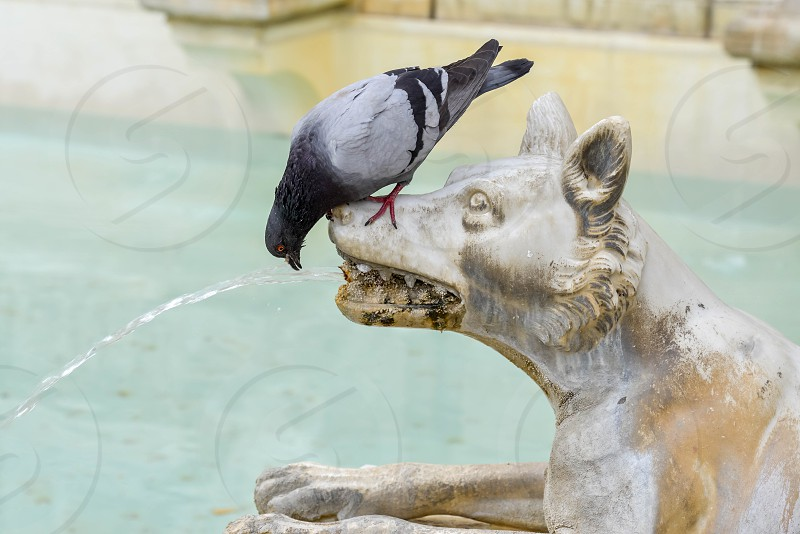 Pigeon drinking from a wolf in the main square of Sienna photo