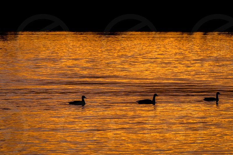 Three ducks at sunrise on the Delaware River. photo