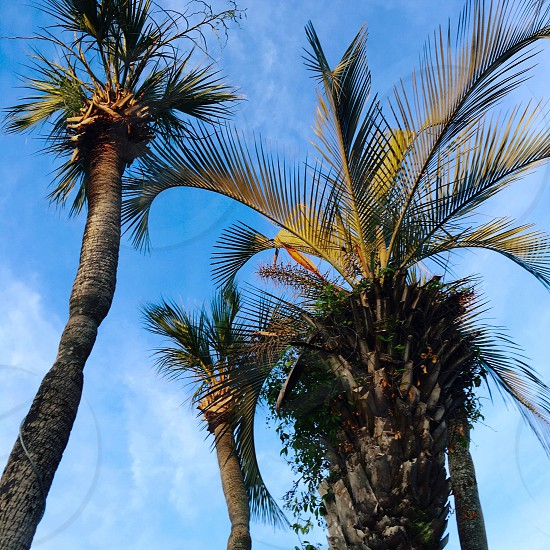 Palm trees Sky Florida  photo