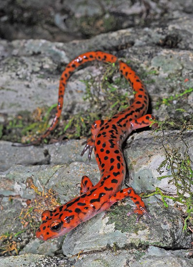 The cave salamander (Eurycea lucifuga) of the eastern U.S. 'glows' in aposematic (warning) red against the rocky wall of its home. photo