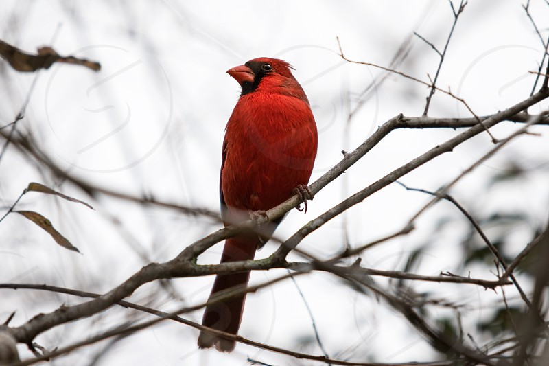 Red red bird Cardinal colorful vibrant photo