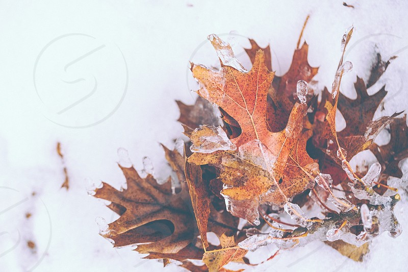 brown dried leaves covered with snow  photo