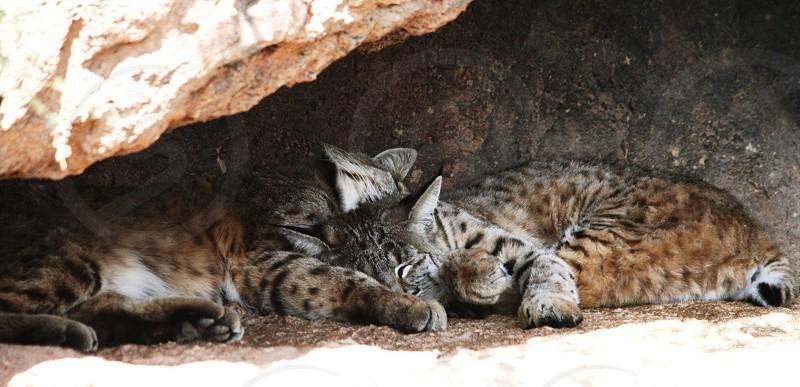 wild cats sleeping photo