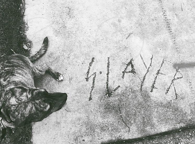 Slayer metal rock and roll dog pet brindle mutt dog walk concrete graffiti street leash photo