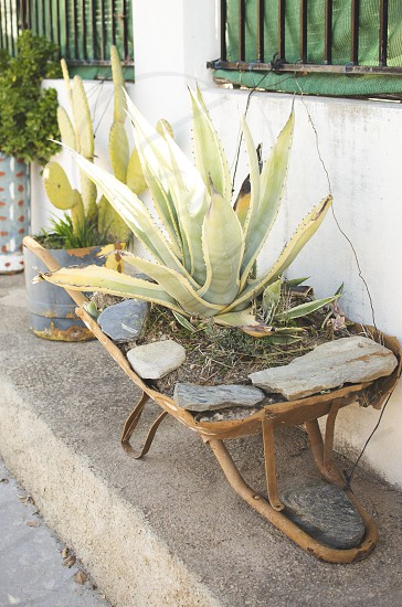 original plant stand a wheelbarrow with a agave and  photo
