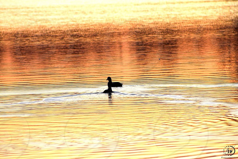 view of black duck on water photo