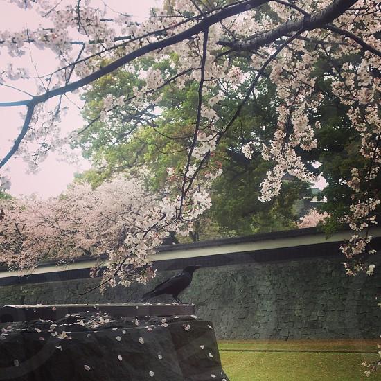 Spring flowers Sakura Japan birds Kumamoto photo