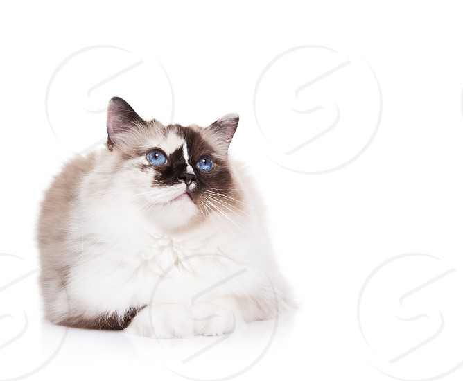 Calm Ragdoll Cat lying down on a White Background	  photo